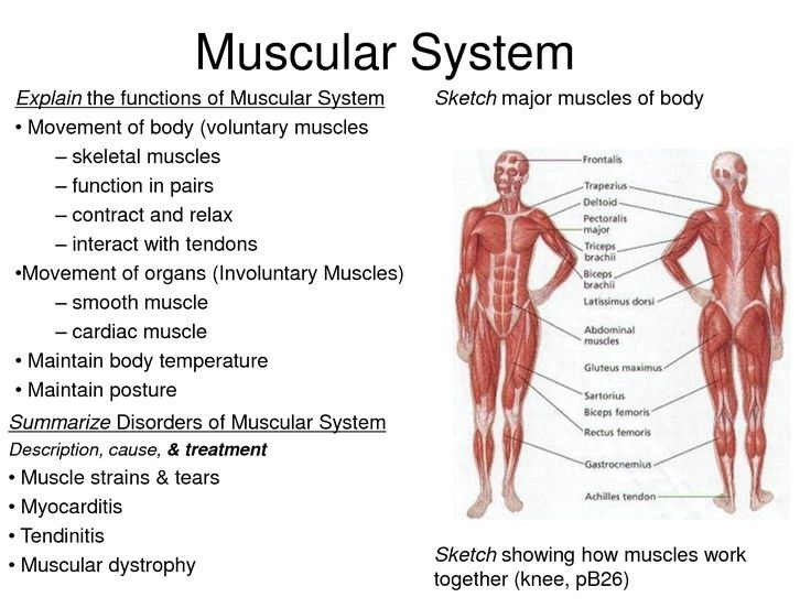 interesting facts you need to know about muscular system - latest, Muscles