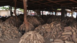 Nigeria to produce seed yams for export