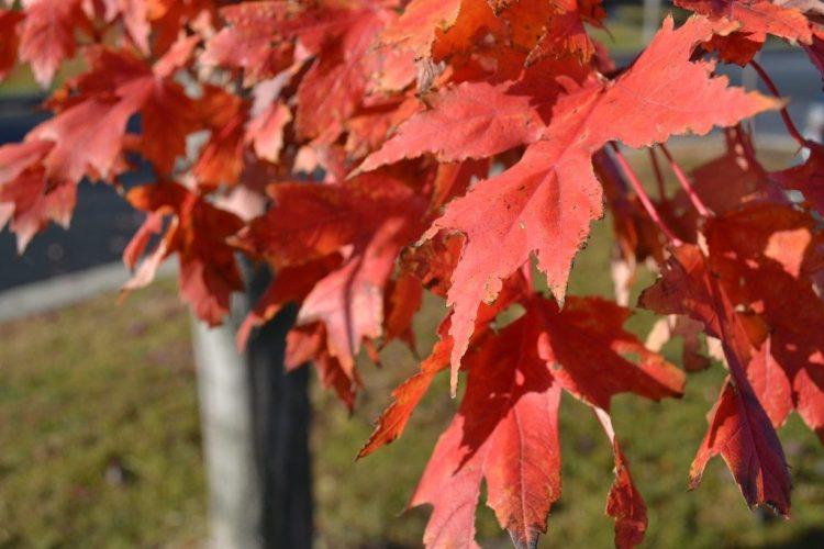 Autumn Blaze Maple Leaves