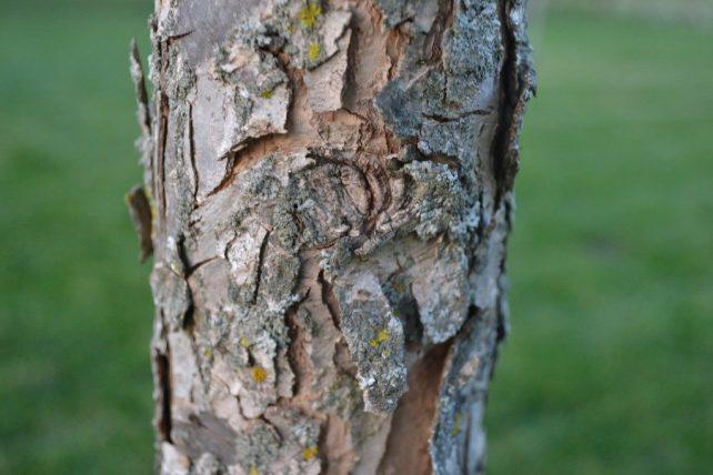 Swamp White Oak Bark