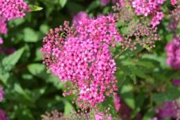 Neon Flash Pink Spirea Flower Cluster