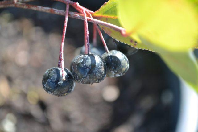 Autumn Magic Black Chokeberry Berries