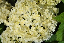 Annabell Hydrangea Flower