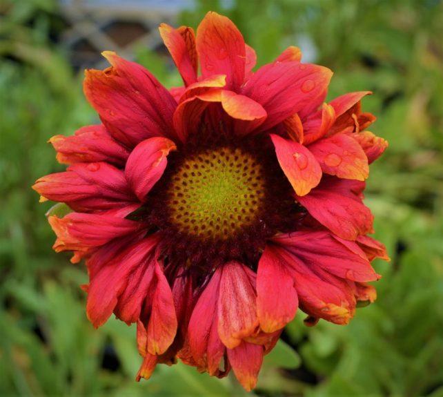 Burgundy Blanket Flower