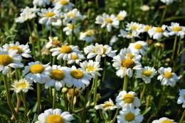 Darling Daisy Shasta Daisy Flower