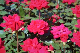 Double Knock Out Red Roses