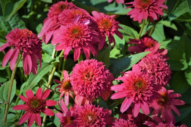 Double Scoop Cranberry Coneflowers