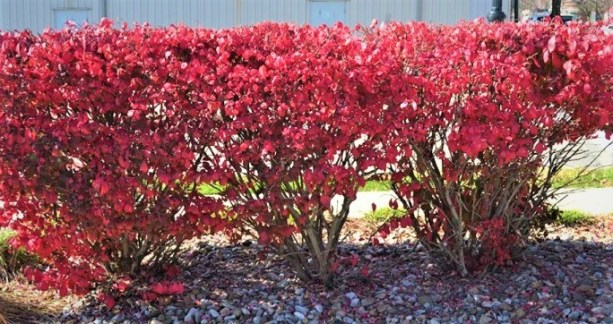 Dwarf-Burning-Bush-Fall-Color