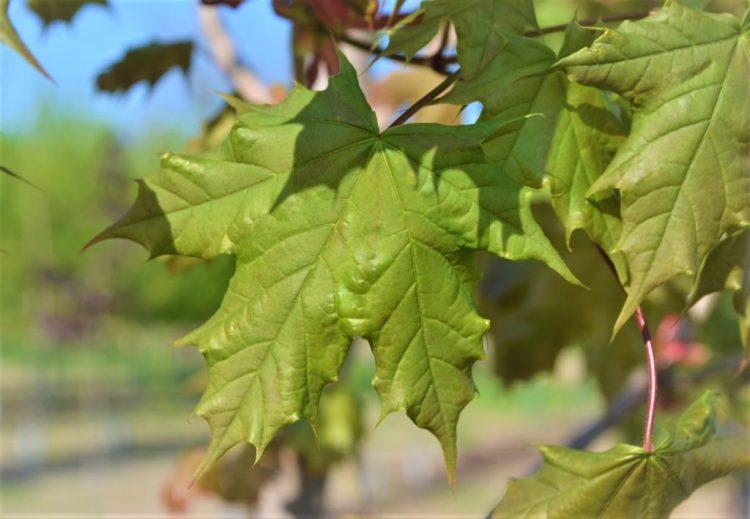 Emerald Lustre Maple Leaves
