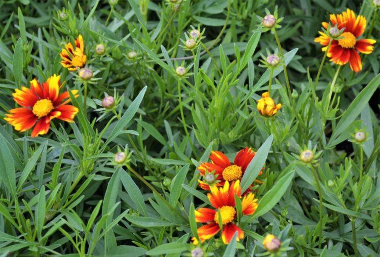 Lil Bang Daybreak Coreopsis Flowers