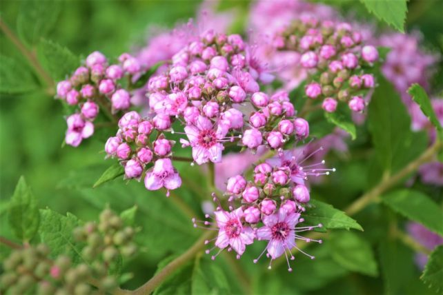 Little Princess Spirea Flowers