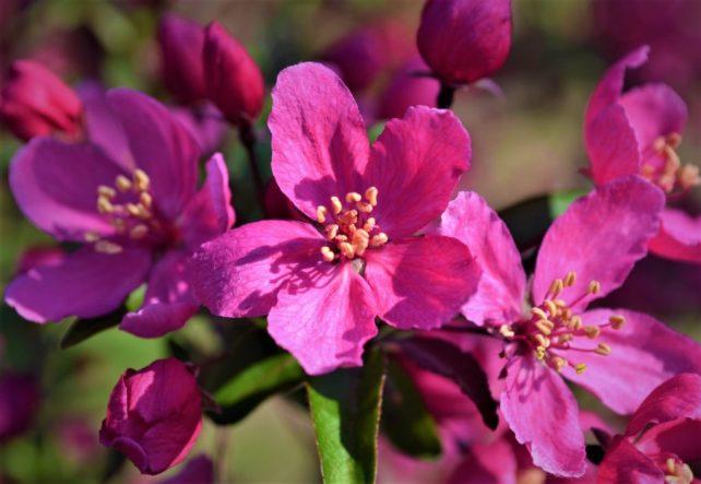 Prairiefire Crabapple Flowers