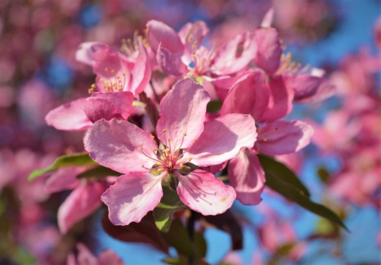 Profusion Crabapple Flowers