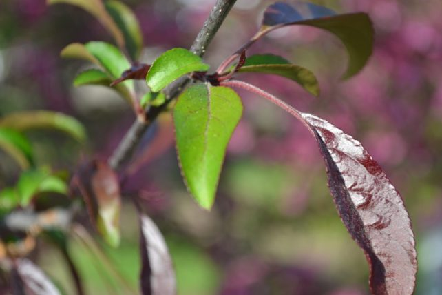 Profusion Crabapple Leaves