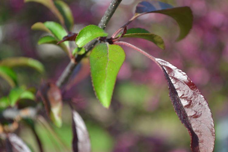 Profusion Crabapple Leaves
