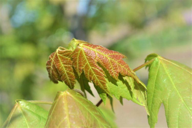 Sienna Glen Maple Spring Leaves