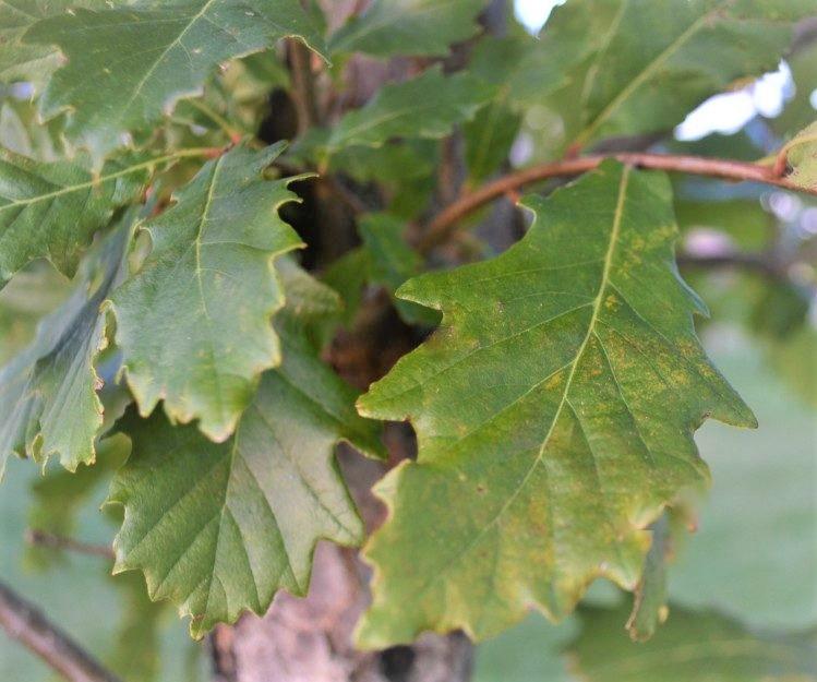 Swamp-White-Oak-Leaves-New