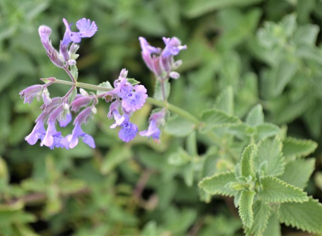 Walkers Low Catmint