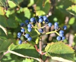 Blue Muffin Viburnum Berries