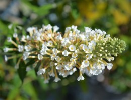 Vanilla Treat Butterfly Bush