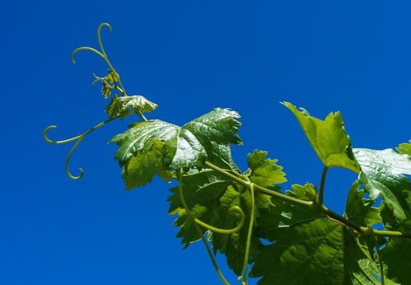 grape-1618316_960_720