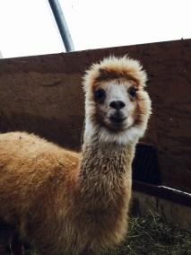 nezinscot farm alpaca