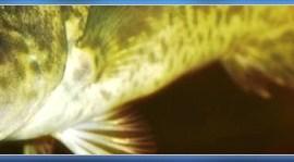 Bacalhau Gadus morhua