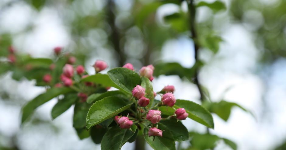 Apfelblüte fast aufgeblüht - vorstellbar der Duft der Blüten in rosa...