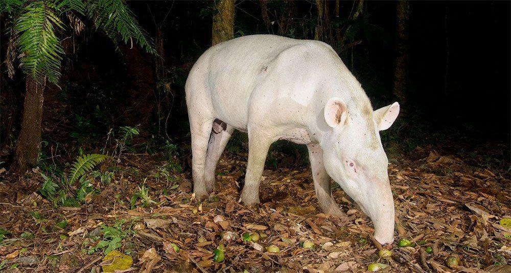 Fotografan al raro tapir albino en Brasil  National