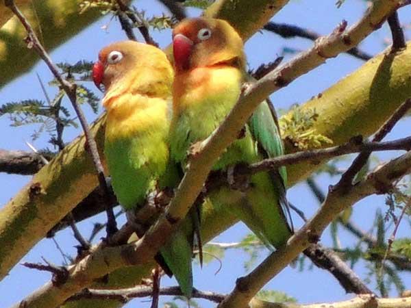 fischer s lovebird in