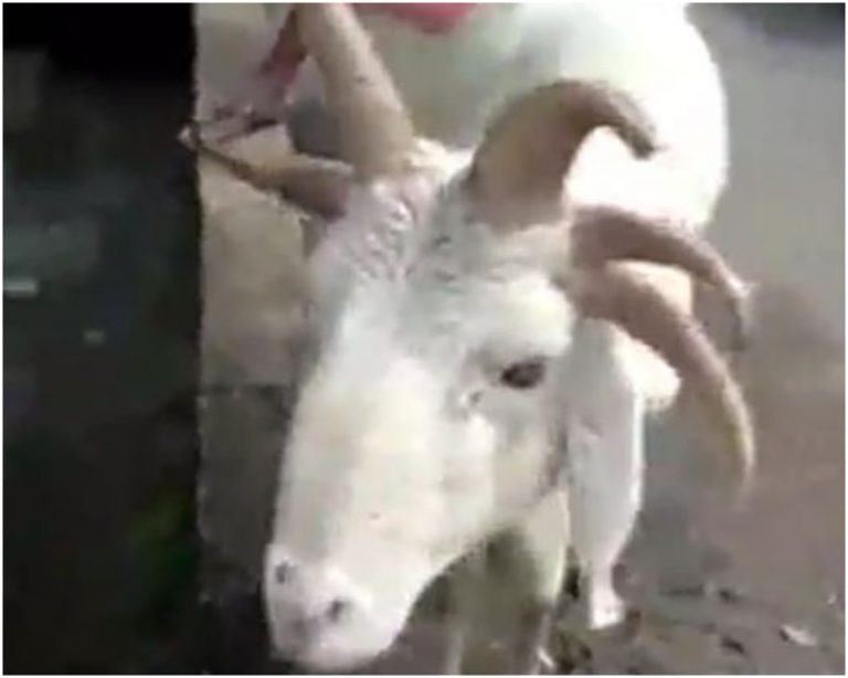 ram with five horns