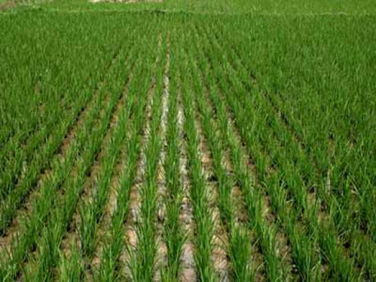 Image result for picture of rice farm in nigeria