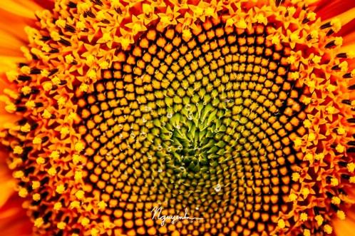 nectar of a sunflower