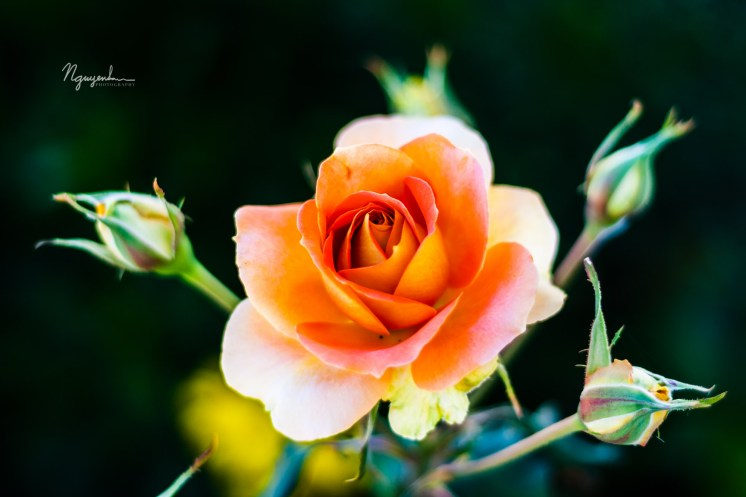 a rose in the morning