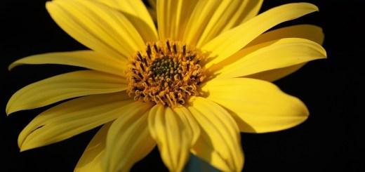 jerusalem-artichoke-flower