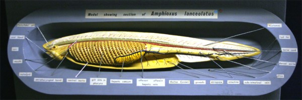 Natural History Collections Cephalochordata