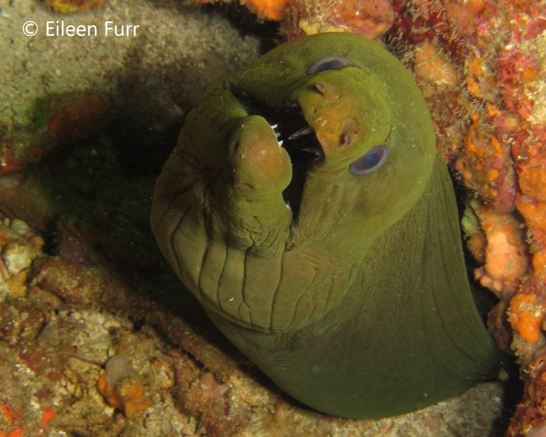 Diving the Caribbean (and Atlantic) - Moray