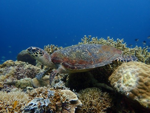 Philippines - Turtle