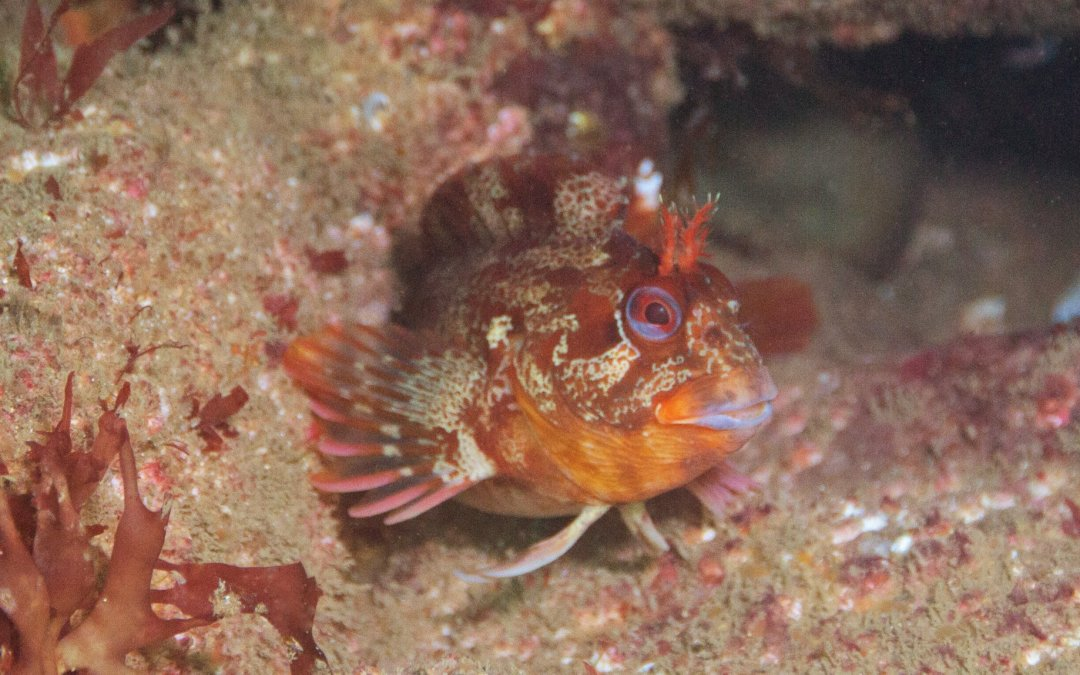 Sunday 28th July - Tompot Blenny