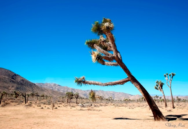 mai-2016-calif-joshua-tree-1m-p-p