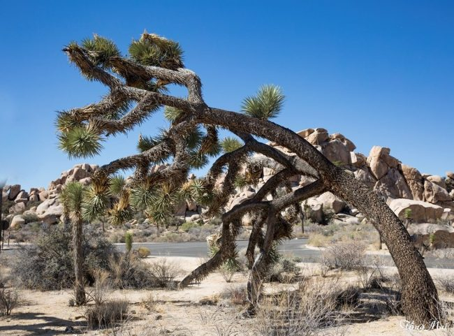 mai-2016-calif-joshua-tree-1x6-p-p