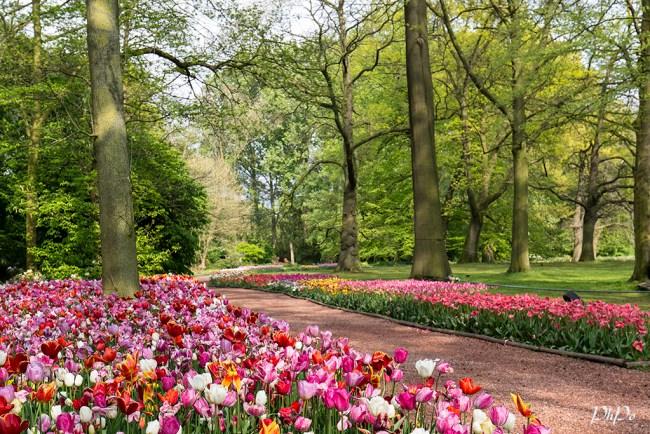 PhPo tulip1a2