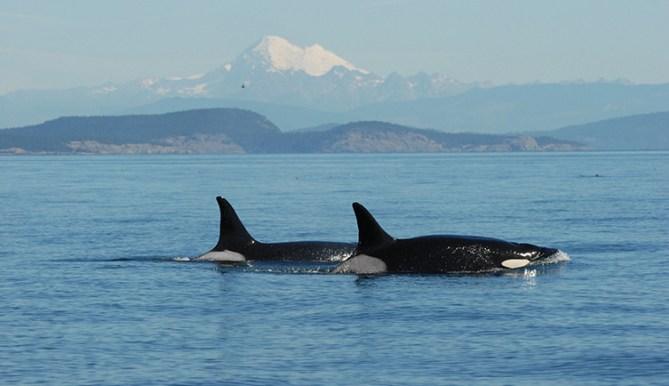 Longest living killer whale