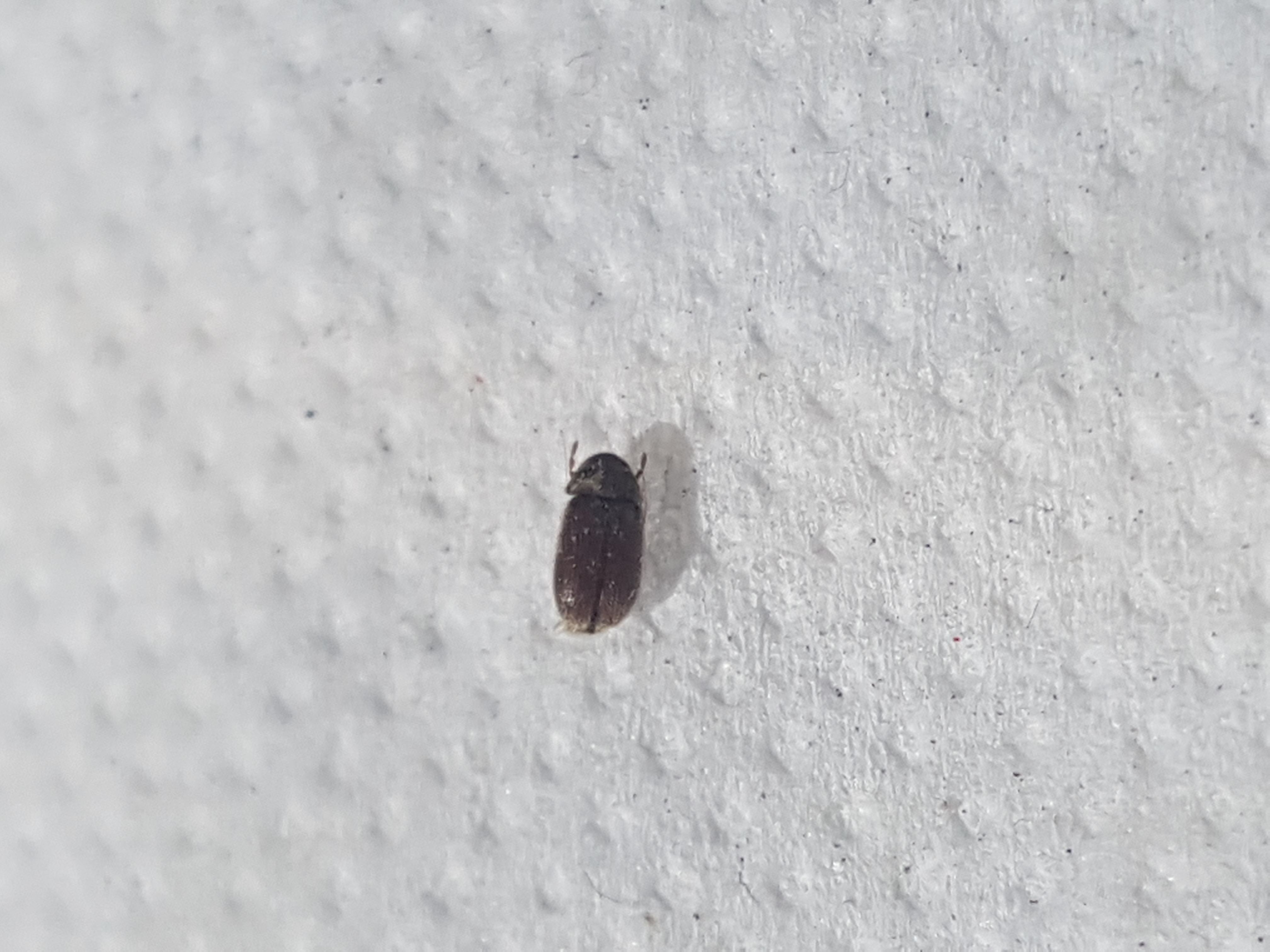 Natureplus Please Help Id These Small Black Flying Bugs