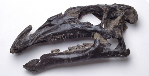 The skull of Iguanodon atherfieldensis, found in Britain.