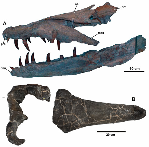 Fossil skulls of crocodylians Dakosaurus maximus (A) and Plesiosuchus manselii (B). © Young et al. (2012)/Phil Hurst NHM