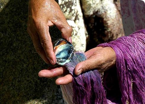Plicopurpura pansa