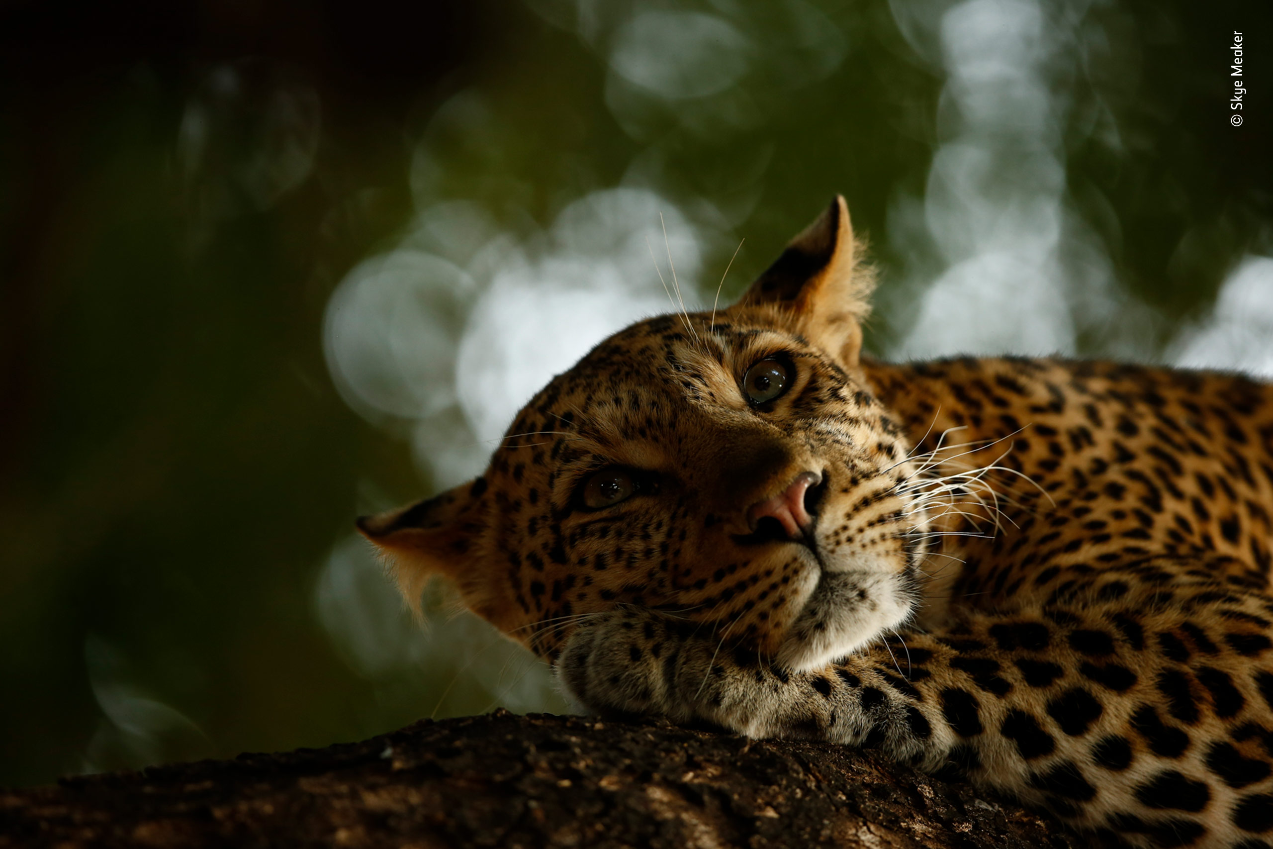 Lounging Leopard