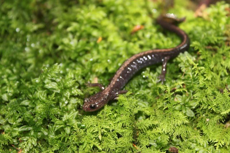 Louisiana Slimy Salamander