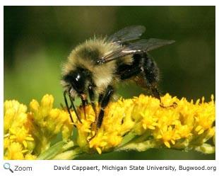 Hymenoptera  ants bees wasps sawflies  Wildlife